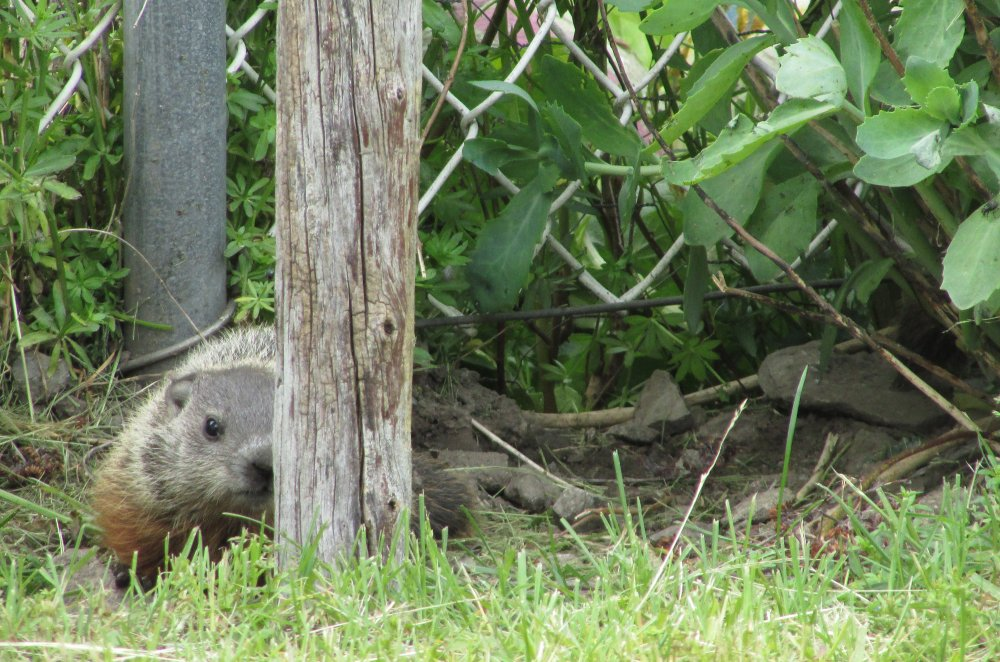 Groundhogs will easily dig near and under fences.