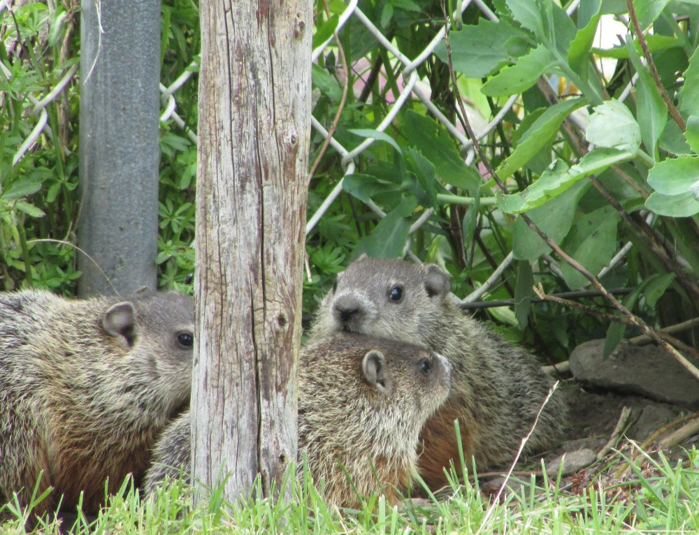 Baby groundhogs cautiously roaming outside their den.