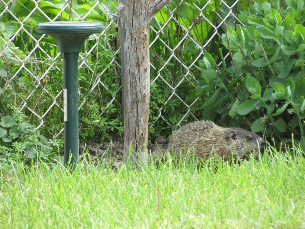 Solar powered rodent repeller installed close to groundhog hole.