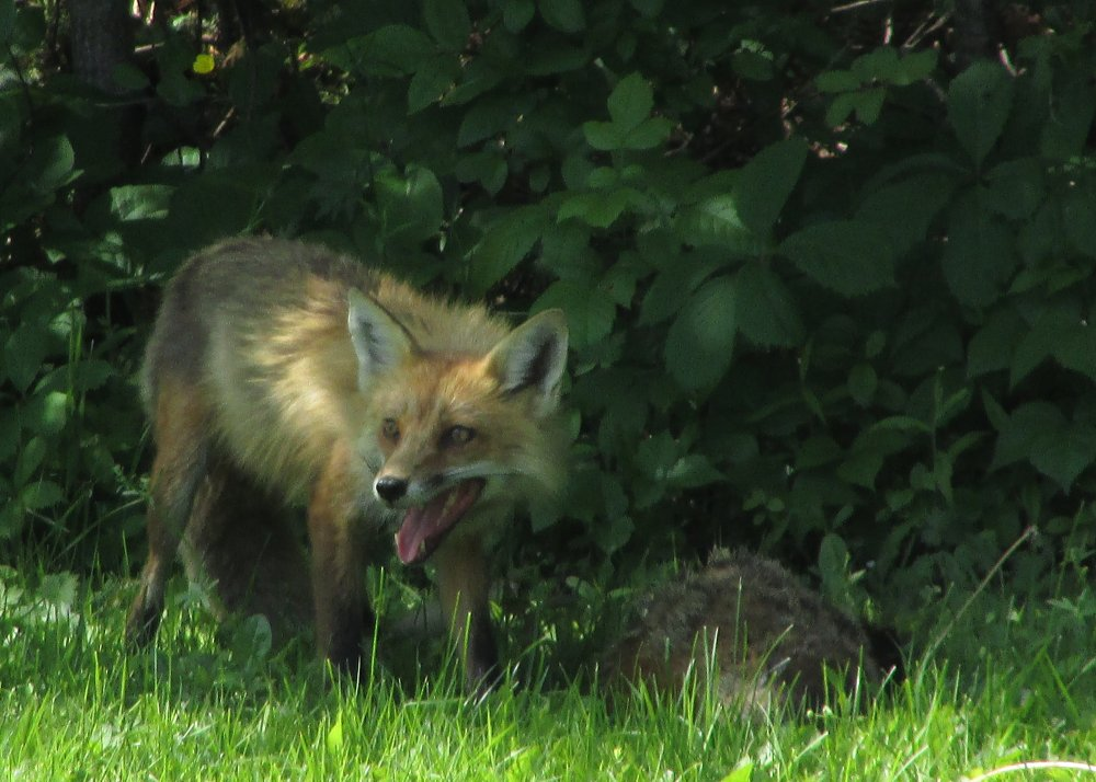 Red Fox panting just after a groundhog kill.