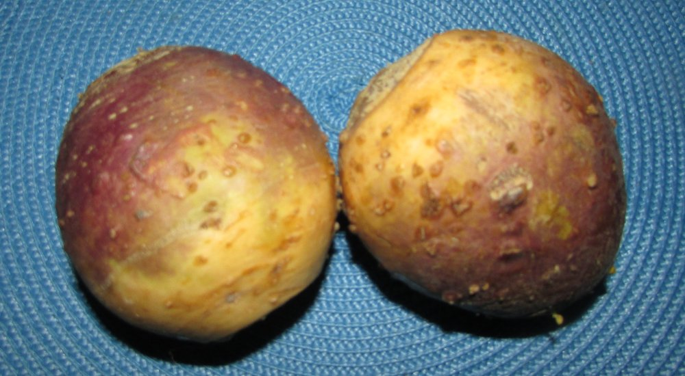 Raw rutabagas with white and purple skin