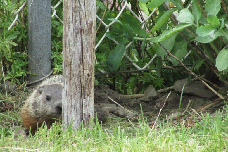 Groundhog Outside of Hole